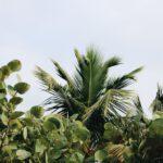 Palmbomen te koop in Nederlandse kwekerijen
